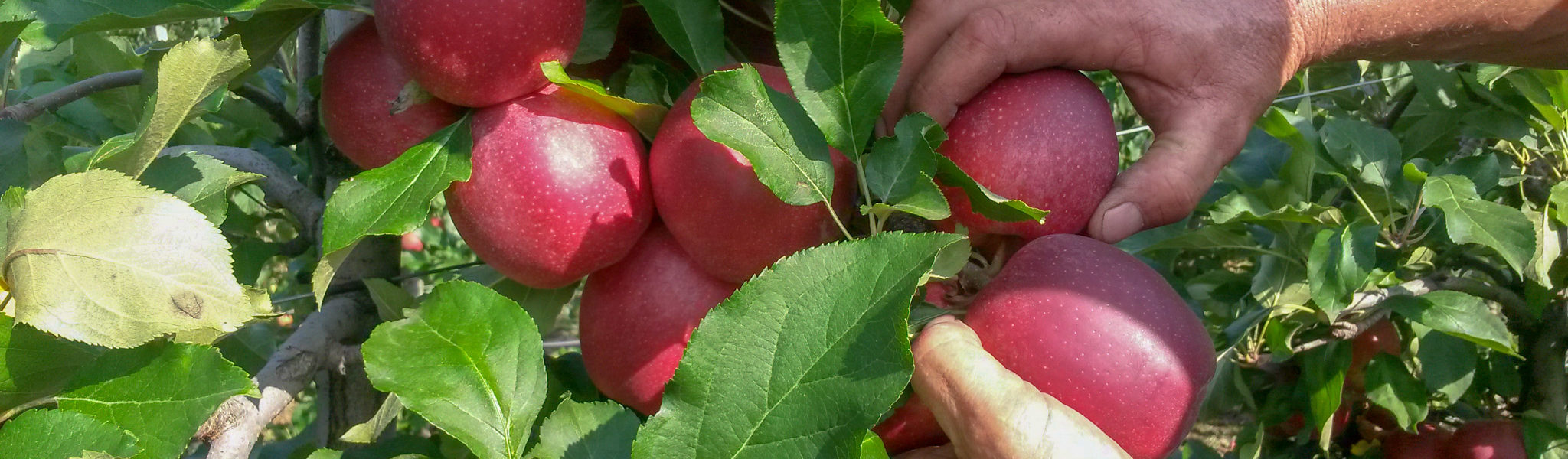 Apfelernte auf dem Weinhof Tholr