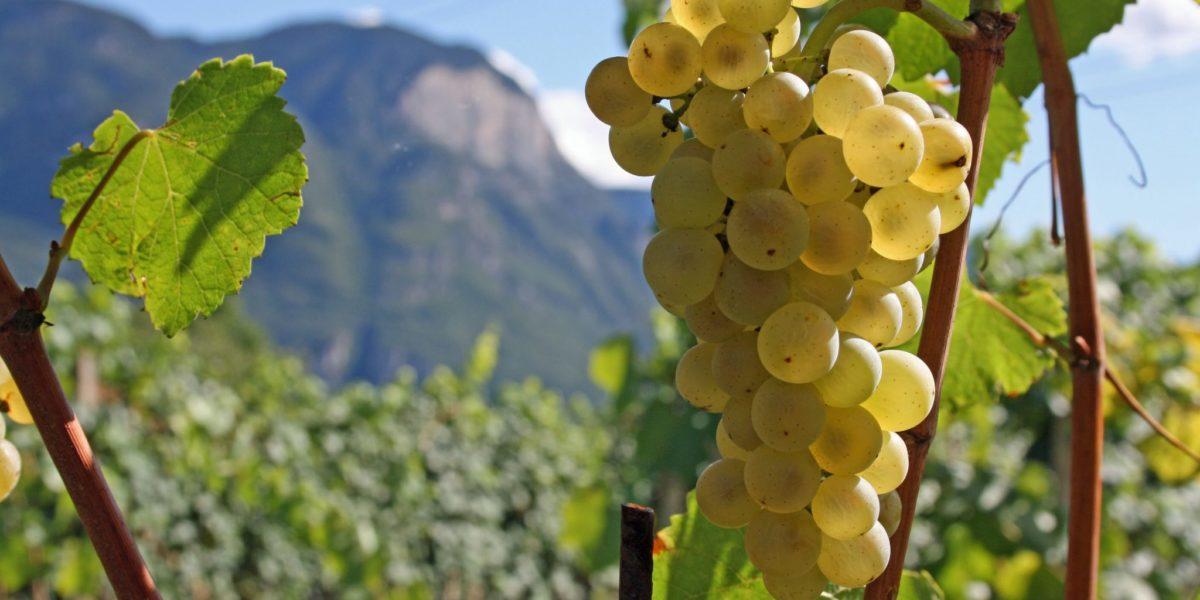 Chardonnay vom Weinhof Tholr - Ferienwohnungen auf dem Bauernhof